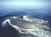 In whale season, Humpback whales are a common site
